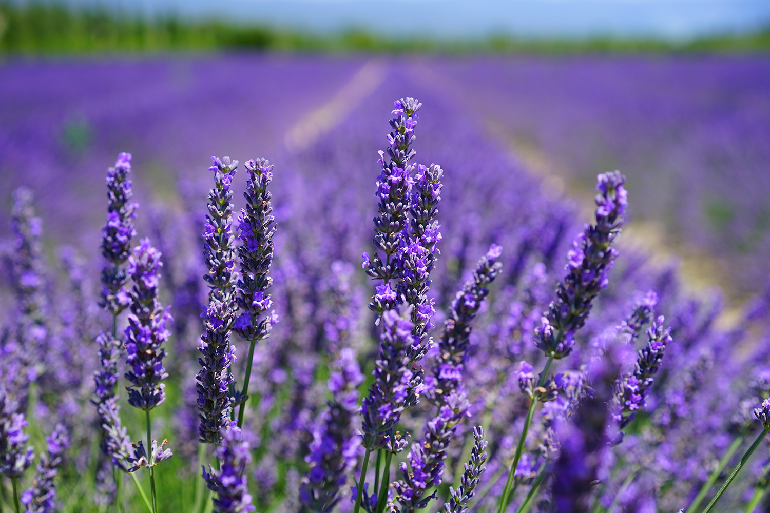 aroma-blooming-lavender-close-up