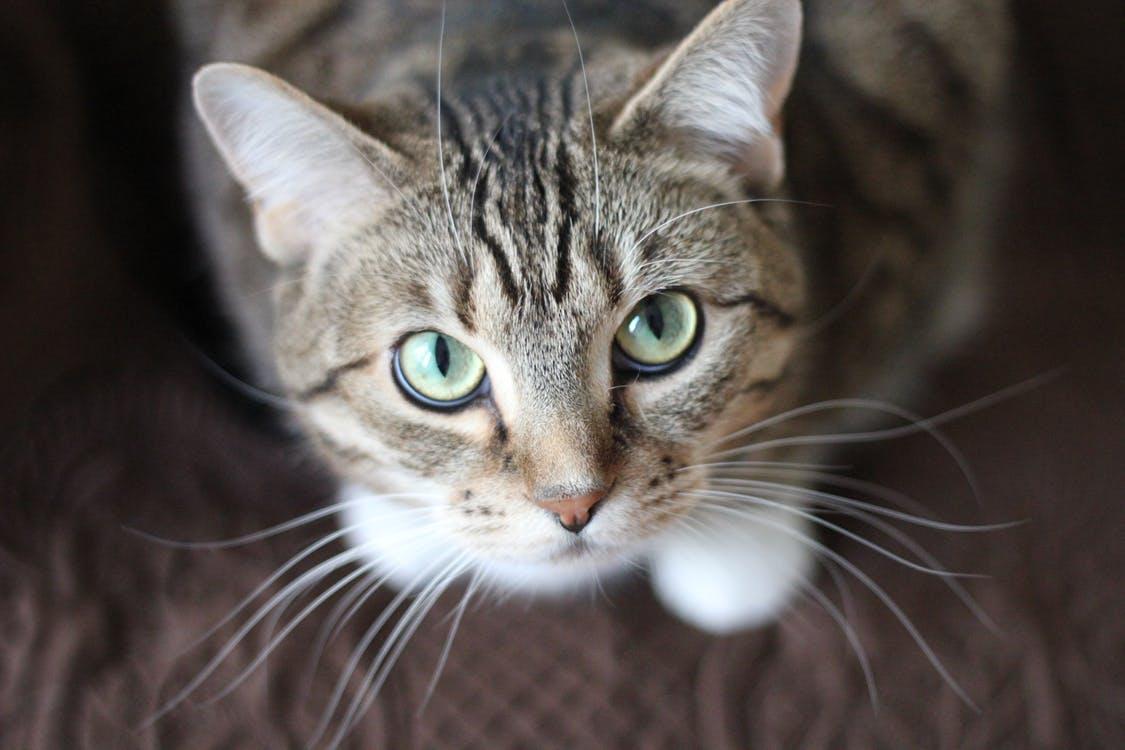 szor-macska